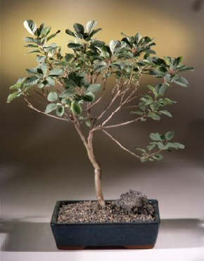 Smoke Bonsai Tree