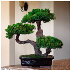 Monterey - Triple Trunk-Preserved Bonsai Tree