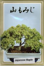 Japanese green Maple Bonsai Tree Seeds