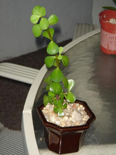 Growing Bonsai From Cuttings Mellobonsai